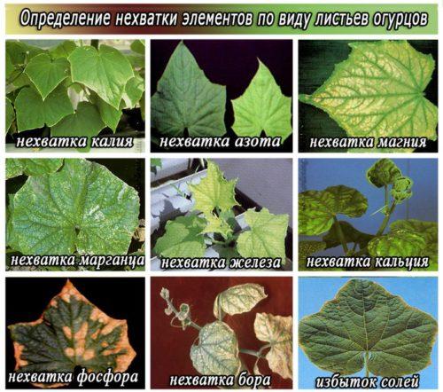 Огуречные листья и описание проблемы