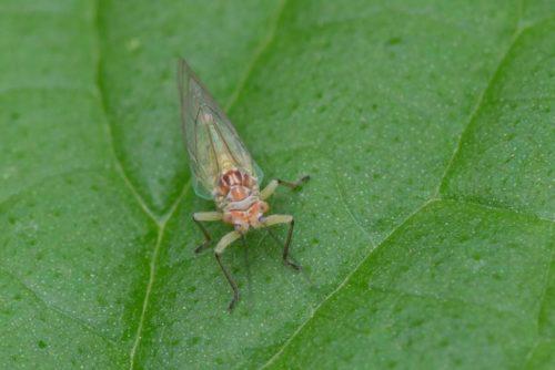 Грушевая листоблошка