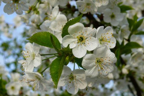 Цветение вишни Харитоновская