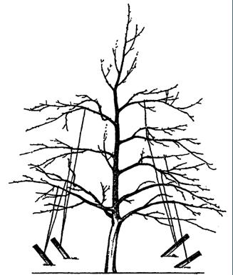 Отгибание ветвей шестилетнего дерева