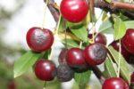 Плодовая гниль вишни