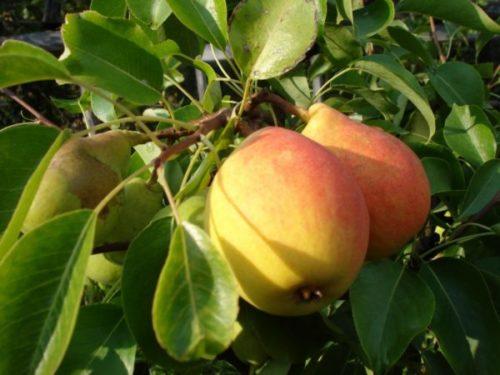 Плоды Лесной красавицы