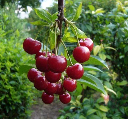 Плоды вишни Шпанка на ветке