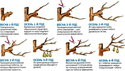 Последовательность обрезки груши по годам развития дерева