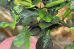 Сажистый грибок вишни