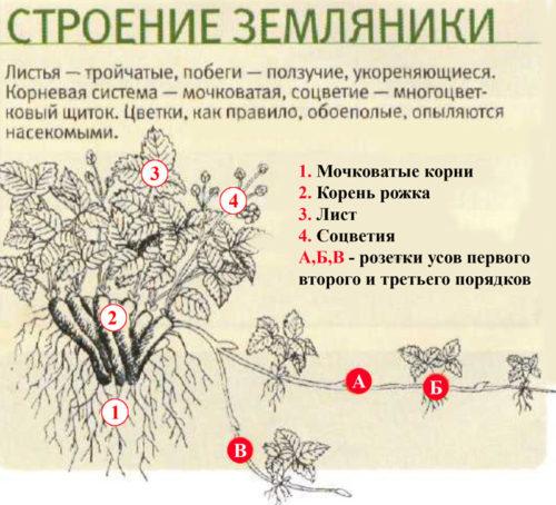 Схема строения куста земляники