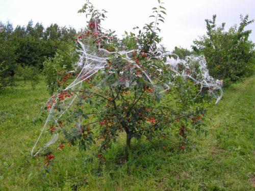 Ткань на ветках вишни