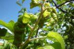 Тля-листокрутка