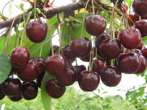 Плоды вишни Морозовка на ветке