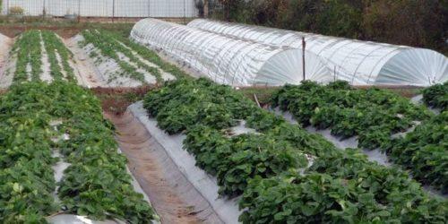 Выращивание земляники в тоннелях