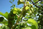 Яблонная тля