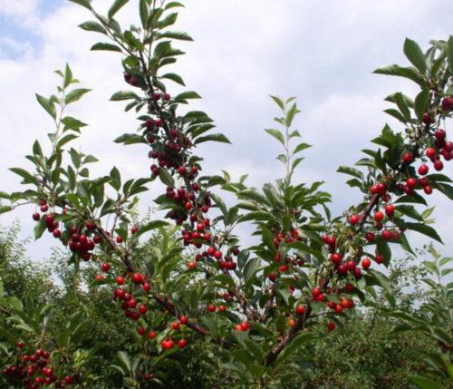 Ягоды вишни на дереве