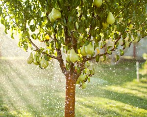 Дождевание грушевого дерева