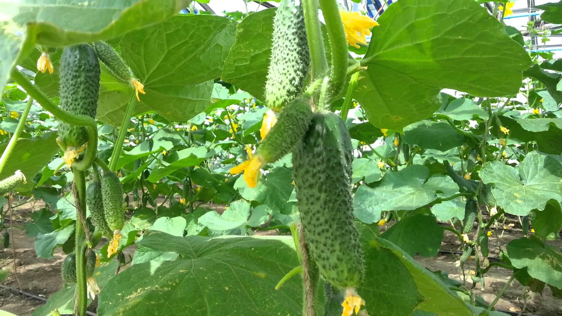 Огурец Эколь F1: отзывы, технология выращивания, описание (фото)