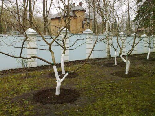Побеленные деревья сливы
