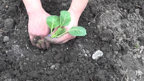 Посадка капустной рассады