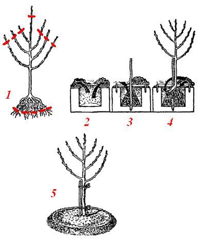 Схема посадки груши