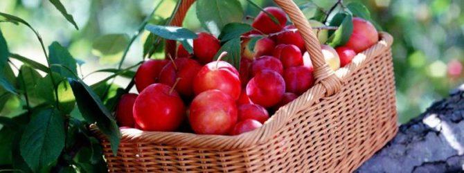 Богатый урожай подарила слива Красный шар садоводу