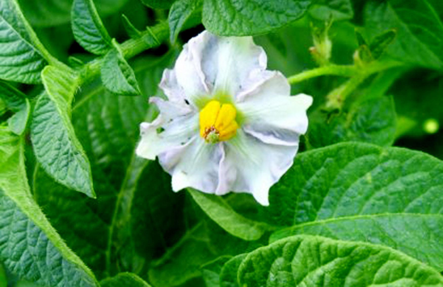 Сорт картофеля Иван да Марья: характеристика, описание с фото, отзывы