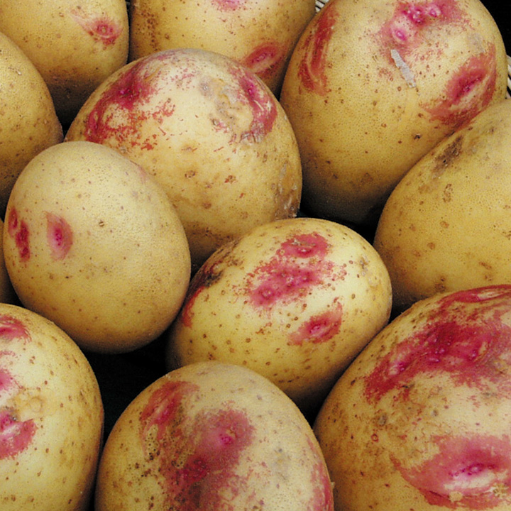 иван да марья картофель фото