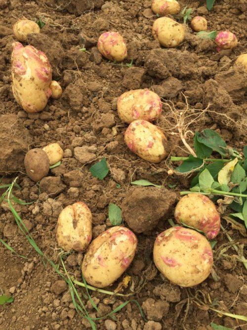 Картофель Иван-да-Марья в земле