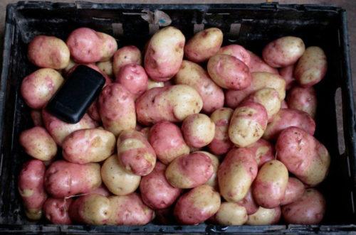 Картофель Иван-да-Марья в ящике