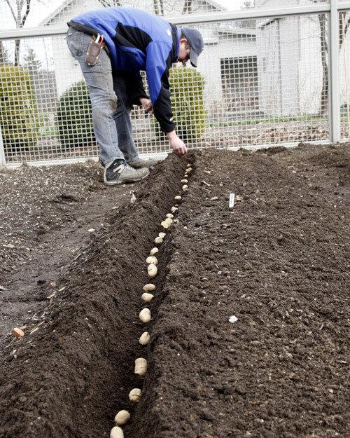 Картофель на грунте, высадка