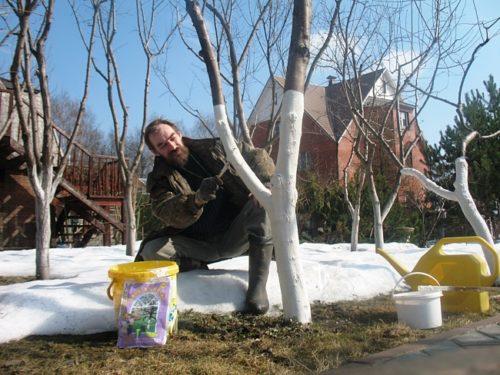 Садовник белит деревья