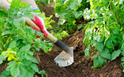 Тяпка окучивает куст картофеля