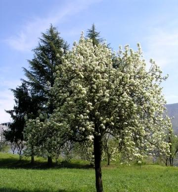 Цветущее дерево Любимицы Клаппа