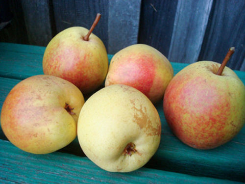 Плоды груши Рогнеда