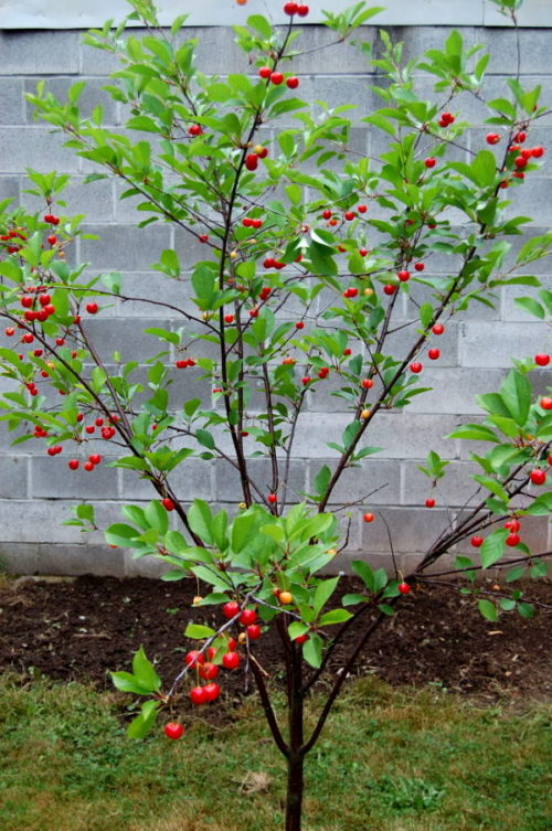 Молодое дерево вишни