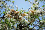 Монилия на цветках
