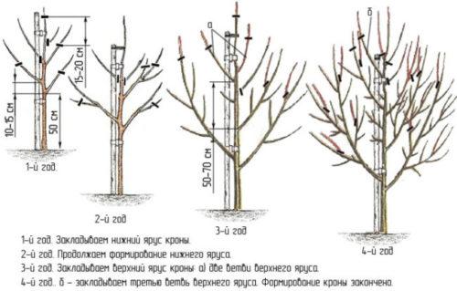 Схема обрезка груши