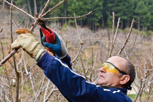 Садовник обрезает вишню