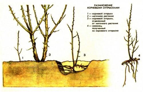 Саженец из корневой поросли