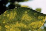 Шарка на листьях