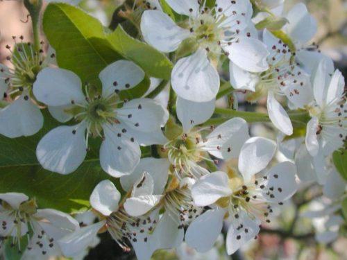 Цветение груши Талгарская красавица