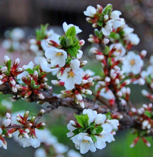 Цвет войлочной вишни