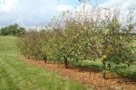 Коккомикоз вишни