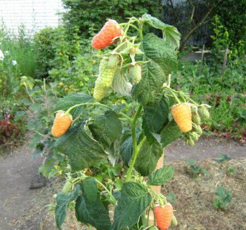 Куст оранжевой малины