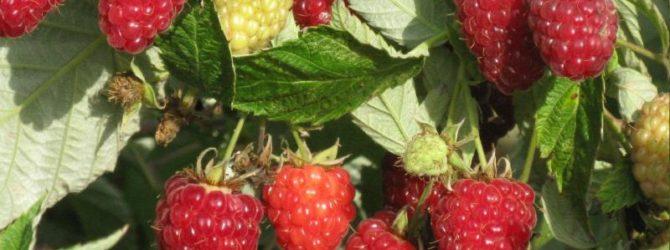 Малина Бриллиантовая - сорт с рубиновыми блестящими ягодами
