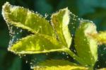 Паутинный клещ малины