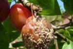 Плодовая гниль сливы