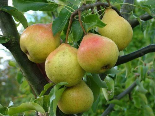 Плоды груши Память Жегалова