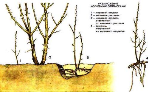 Получение посадочного материала из корневых отпрысков