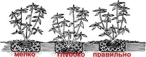 Примеры посадки малины