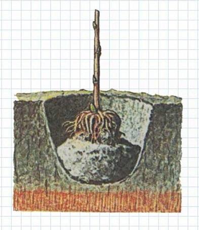Саженец малины в яме