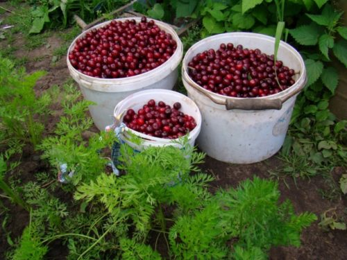Сбор вишни