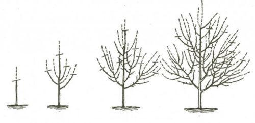 Разреженно-ярусная форма дерева
